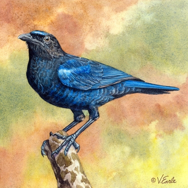 ©V.Earle Sri Lanka Whistling Thrush 4x4 200
