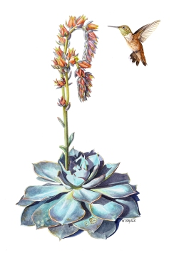 Echeveria and Rufous Hummingbird Watercolour on paper